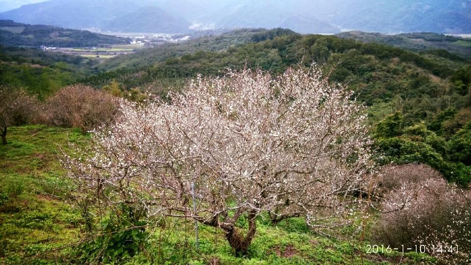 梅花盛開,搭不烏拉山